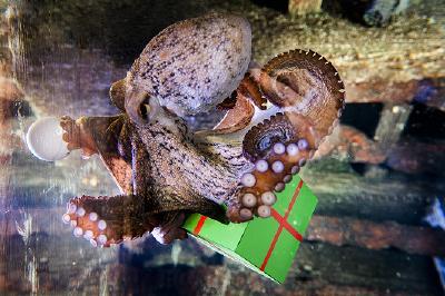 """Der Oktopus im SEA LIFE Konstanz """"öffnet"""" sein Adventskalender-Türchen"""