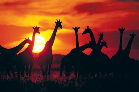 Giraffen im Krüger Nationalpark in Südafrika