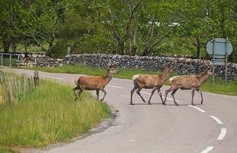Wild überquert eine Straße