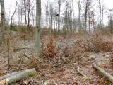 Foto: Willi Hamel. Der zuvor schützend im Wald stehende Schwarzstorchhorst wurde bloßgestellt. Der durch Schirmschlag völlig aufgelichtete Forst dürfte seine Habitateignung für den Schwarzstorch verloren haben.
