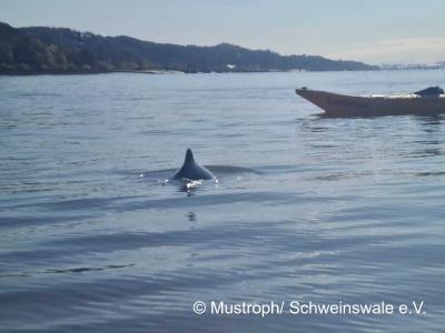 Schweinswale jagen bei Wedel und schwimmen auf Kajakfahrer zu. Copyright: M. Mustroph / Schweinswale e.V.