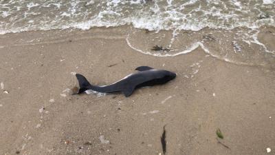 Totfund Sylt Nordsstrand Juni 2019 R. Schmidt. Gerade zur Sommerzeit werden vor Sylt viele Schweinswaljungen geboren. Auch die Totfundrate steigt natürlicherweise in dieser Zeit an.