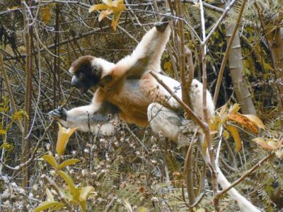 Die Insel Madagaskar ist Heimat der Lemuren