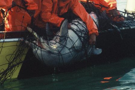 Ein Bleifarbener Delfin (Sousa plumbea) wird tot aus einem Hainetz geborgen. Foto: Brett Atkins