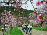 Radfahren   zur  Mandelblüte mit genussradeln-pfalz  macht  Spaß