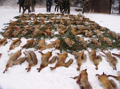 """Abschluss einer sogenannten """"Fuchswoche"""" bei Messkirch (Baden-Württemberg). Die getöteten Tiere werden """"zur Strecke gelegt"""" (Foto: Sandro und Bianka Pelli)"""