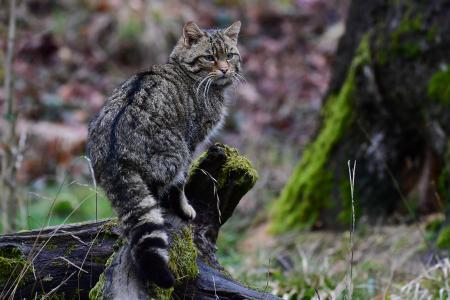 Europäische Wildkatzte - Foto: Harry Neumann