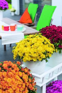 Strahlendes Gelb erweitert die Farbpalette der Ditto-Familie: 'Ditto Yellow' ist eine neue Gartenchrysanthemen-Sorte aus dem Hause Dümmen Orange. Wie alle Sorten aus dem Vitamum-Sortiment ist sie absolut farbstabil und zuverlässig im Anbau. (Foto: Dümmen Orange)