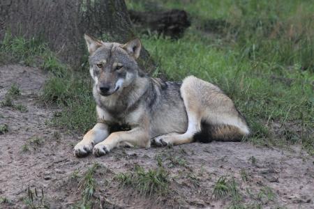 Wolf / Foto: Wildpark-MV