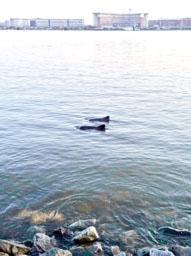 Schweinswale in Hamburg
