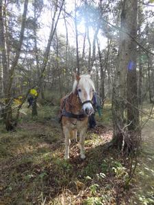 """Mit Pferdestärken für den Naturschutz: """"Amor"""" und """"Bronco"""" rücken den Kulturheidelbeeren im Helstorfer Moor zu Leibe"""