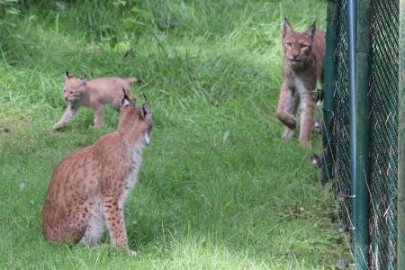 Bisher sind nur einige wenige Aufnahmen des Luchs-Nachwuchses aus der Ferne gelungen (Foto: Wildpark-MV)