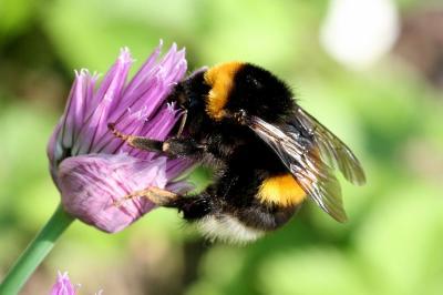 Heimische Blumen für heimische Bienen: (Bombus Terrestris) / © Hans-Jürgen Sessner