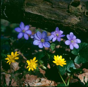 Scharbockskraut Leberblümchen