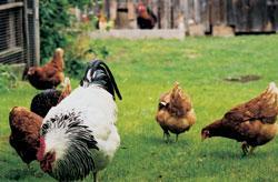 Für Hühner ist nur die Freilandhaltung tiergerecht © VIER PFOTEN