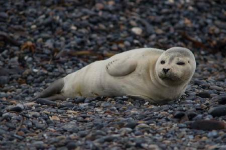 Robbenbabies auf Helgoland