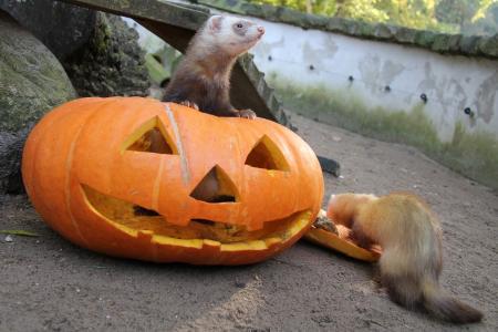 Die Frettchen und Eichhörnchen testen schon einmal die Halloween-Deko / Foto: (Wildpark-MV)