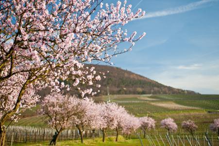 Südliche Weinstrasse - Mandelblüte, Quelle: Dominik Ketz, Bildarchiv Südliche Weinstrasse e.V.