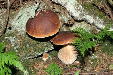 Pilze sammeln im Wald nur für privaten Eigenverbrauch erlaubt,  Waldbauernverband NRW e. V., Pressemitteilung - lifePR