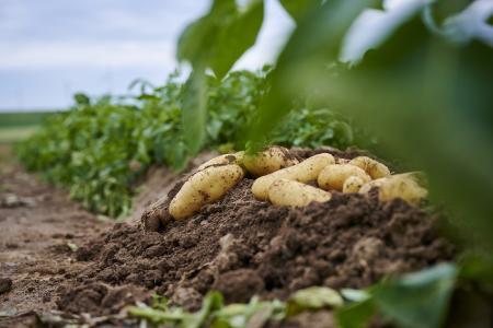 Kartoffeln auf Acker
