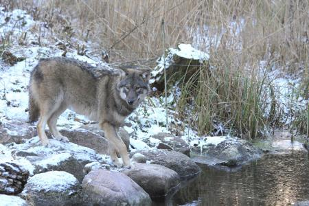 Wolf im Winter, Foto: Wildpark-MV