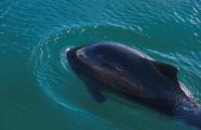 Schweinswale in der Ostsee gefährdet