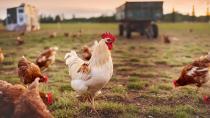 Welche Impfungen empfehlen sich für meine Hühner?