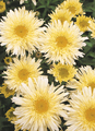 Chrysanthemum Goldrausch