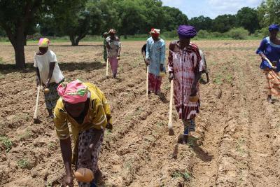 Frauen in Mali beim Anbau klimaresistenter Pflanzen