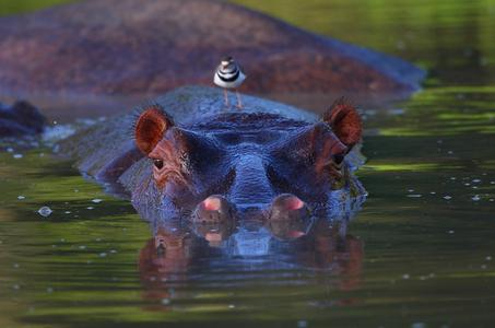 Südafrika Reisen_Flusspferd