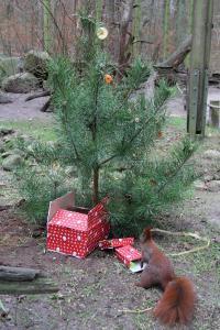 Weihnachtsstimmung bei den Eichhörnchen im Wildpark-MV, Foto: Wildpark-MV