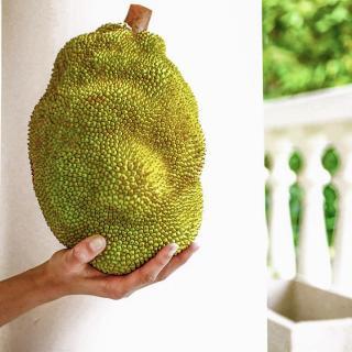 Bio-Jackfrucht aus biologischen Hausgärten