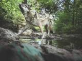 David Plummer – Wolf V, Fotografie 2018