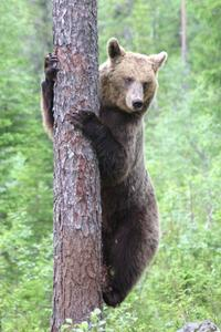 Kletternder Bär