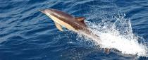 Einzelgängerische Delfine