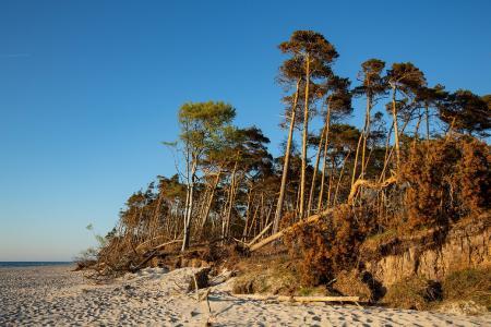 Windflüchter am Strand im Nationalpark Vorpommersche Boddenlandschaft auf der Halbinsel Fischland-Darß-Zingst, Foto: TMV/Prast