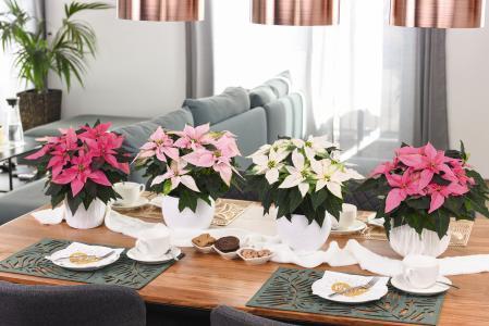 """""""Farbenfrohe Weihnachten!"""": Die J'Adore-Familie aus dem Hause Dümmen Orange in Rheinberg vereint vier Sorten in einzigartigen Farben von Weiß bis Dunkelpink: 'J'Adore White Pearl', 'J'Adore Soft Pink', 'J'Adore Pink' und 'J'Adore Dark Pink'. Neben den eindrucksvollen Brakteen zeichnet sich die Familie durch einen ausgeprägten runden Habitus und einen starken V-förmigen Aufbau aus (Foto: Dümmen Orange)"""