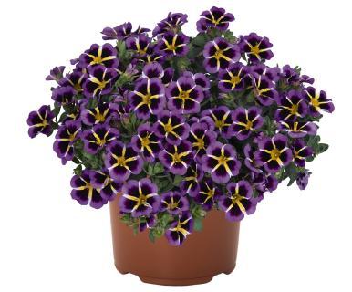 """Außergewöhnliche Blütenzeichnung: Die neue Calibrachoa-Serie """"Tik Tok"""" erhielt ihren Namen aufgrund der einzigartigen Zeichnung, die an die Zeiger einer Uhr erinnern. Mit 'Tik Tok Chrystal', 'Tik Tok Rose', 'Tik Tok Blue' und 'Tik Tok Amethyst' startet die Serie für den frühen Verkaufstermin. Produzenten profitieren von einheitlichen Pflanzen und Stecklingen in bester Qualität."""