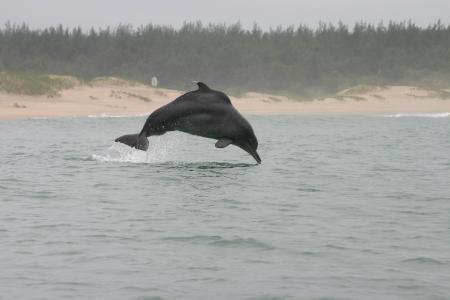 Bleifarbene Delfine (Sousa plumbea) sind die am stärksten vom Aussterben bedrohten Meeressäuger in Südafrika. Foto: Brett Atkins.