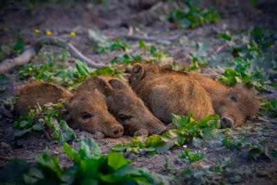Schwarzwild im Gehege Waldhaus. Wildschweine sind bei Landwirten wegen der durch sie verursachten Schäden gefürchtet und schwer zu bejagen. Dafür haben sie sehr schmackhaftes Fleisch. Foto: Peter Neunteufel