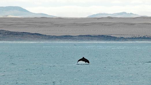 Ein Heaviside-Delfin vor der Küste von Namibiа (Bild: Manfred Marschner)