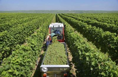 Winzer pflanzen mehr weiße Sorten / Foto: Deutsches Weininstitute (DWI)