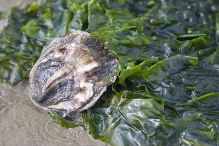 Auster im Wattenmeer, Stock / LKN-SH