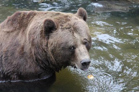 Morgendliche Obstration bei den Braunbären / FOTO: Wildpark-MV