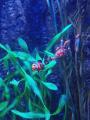 Clownfische Nachwuchs