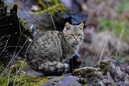 Europäische Wildkatze (Felis silvestris silvestris) / Foto: Harry Neumann/NI