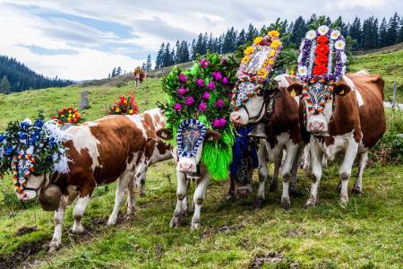 Die Tiere sind zum Heimfahrt bereit, Anbieter: Tirol Werbung GmbH