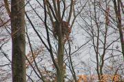 Foto: Willi Hamel. Der Baum mit dem kräftigen Rotmilanhorst nahe Hopfmannsried wurde aktuell gefällt.