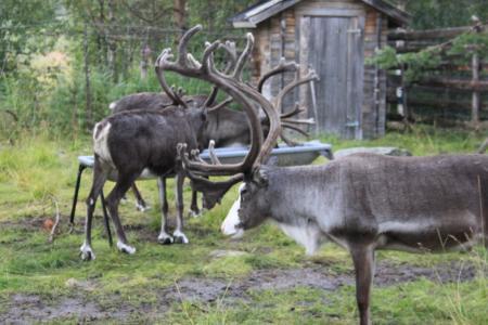 Rentiere zum Anfassen in Lappland