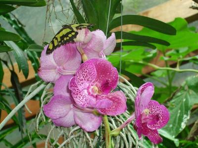 Frühlingsbeginn in Potsdam: Die Orchideenblüte 2015 in der Biosphäre Potsdam ist eröffnet (Foto: Biosphäre Potsdam GmbH)